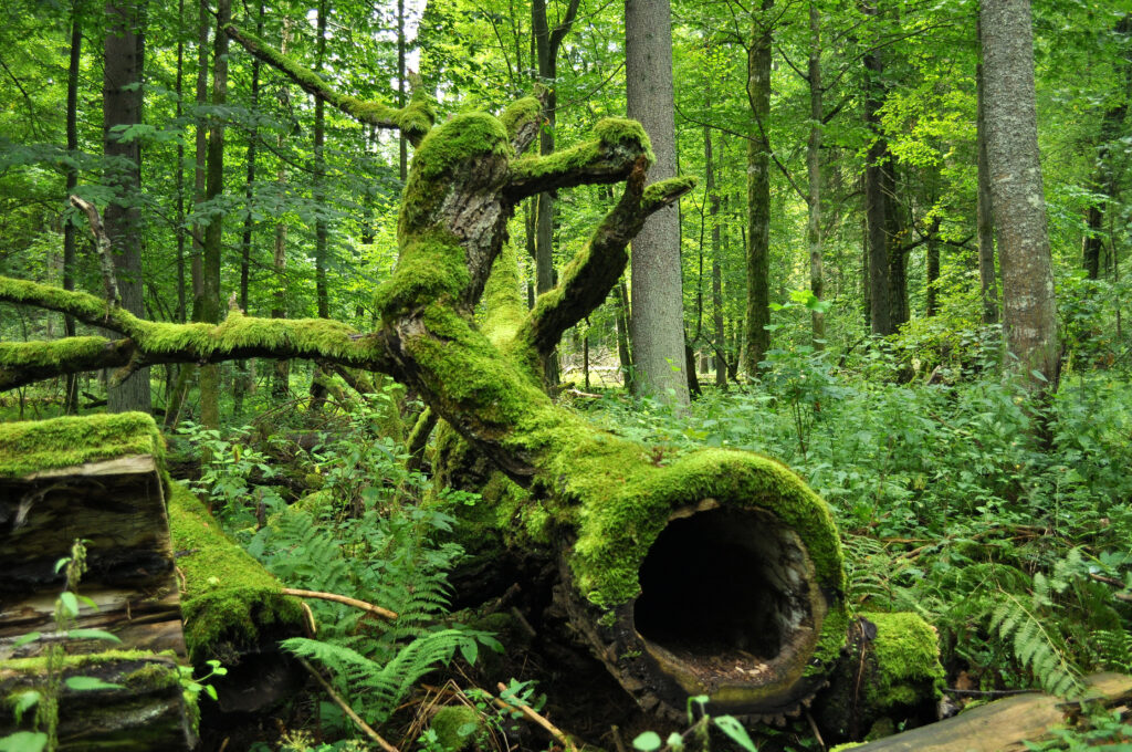 Image result for Białowieża Forest